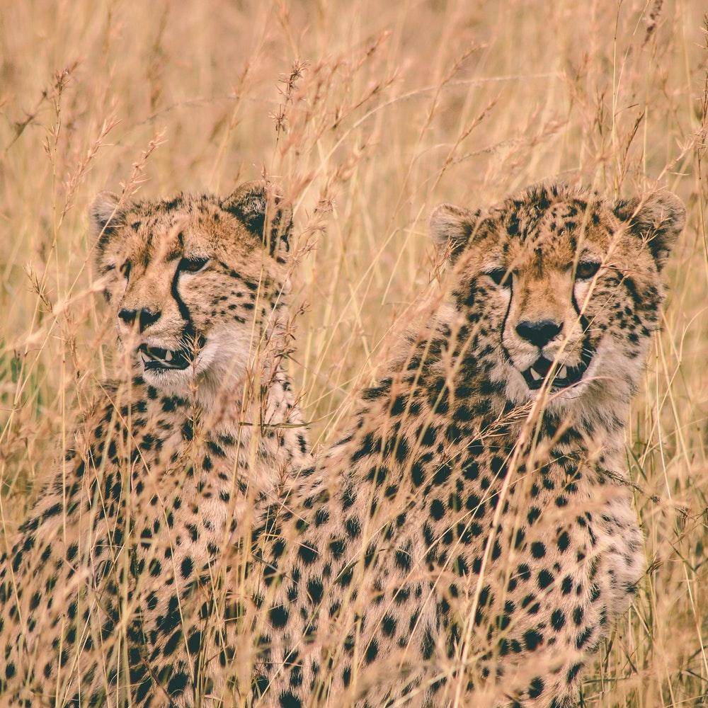 masai mara -parrot africa safaris