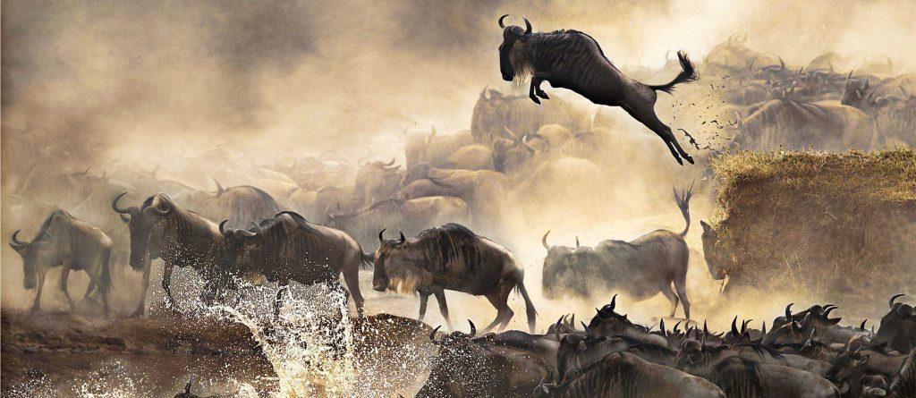 watch wildebeest migration